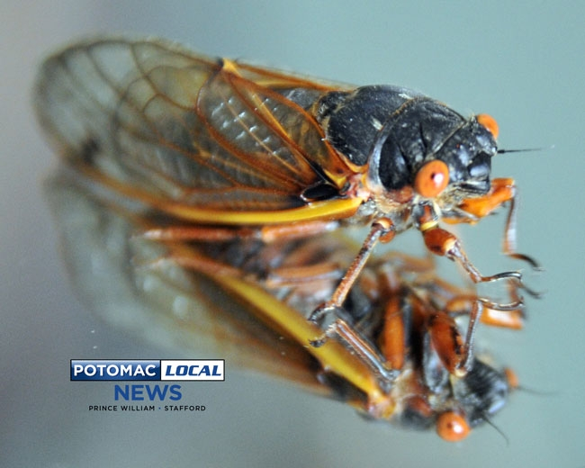 052113-cicada-01