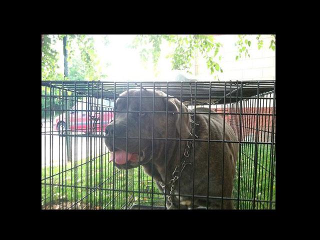 070714-found-mastif