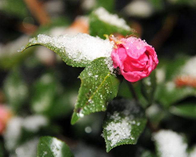 122612-Snow-sleet-flower