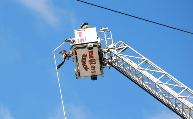 Stafford fire and rescue crews were called to spring an Osprey from an apparent  self-induced trap. [Submitted photo]