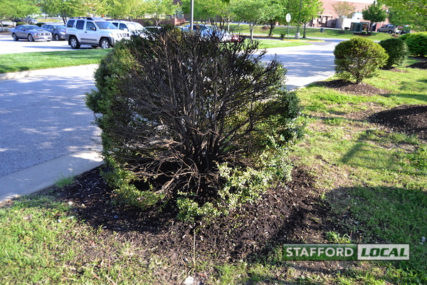 A Home Depot employee said this was the bush that fire fighters doused earlier that evening. The ground around it was still wet. [KJ Mushung/Stafford Local News]