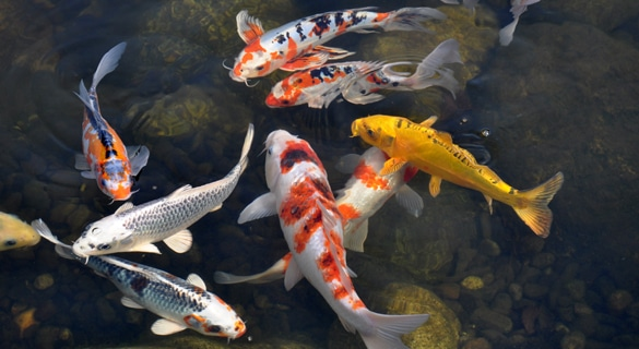 Prince William Chamber To Start 39 Koi Pond 39 For Not For Profits Potomac Local